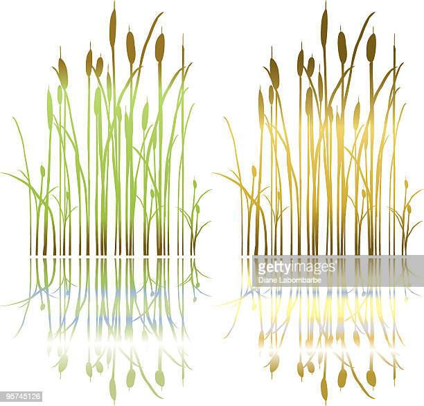 Simple Drawn Marsh Cattails Plant in Spring and Fall Colors