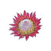 Single purple colored king protea, sketch vector illustration