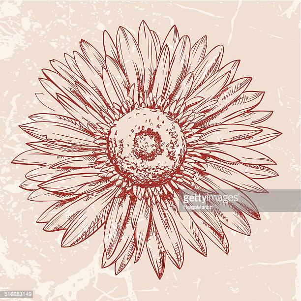 Flower Head Line Drawing : Gerbera daisy stock illustrations and cartoons getty images