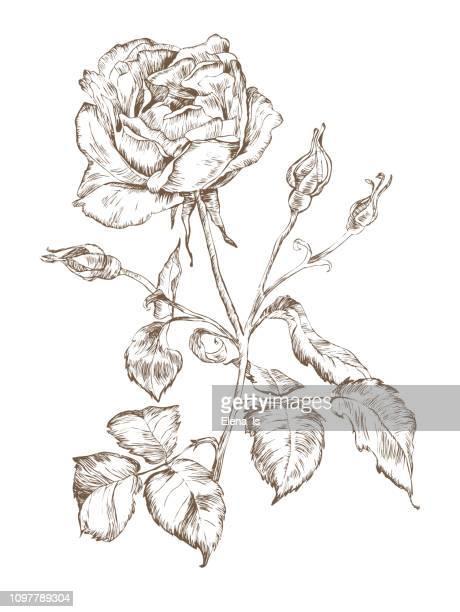 single rose engraving vector monochrome - rose stock illustrations
