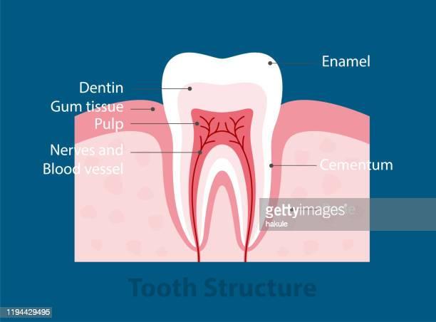 single tooth anatomy - enamel stock illustrations