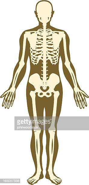 Skeleton und Körper.