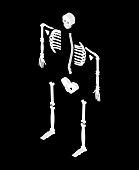 Skeleton isometric isolated. 3D Skull and Bones. Pelvic bone and ribs. Spine and vertebrae. Human bone system