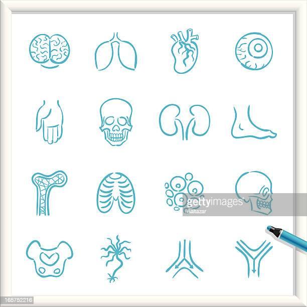 sketch icons - anatomy - artery stock illustrations, clip art, cartoons, & icons
