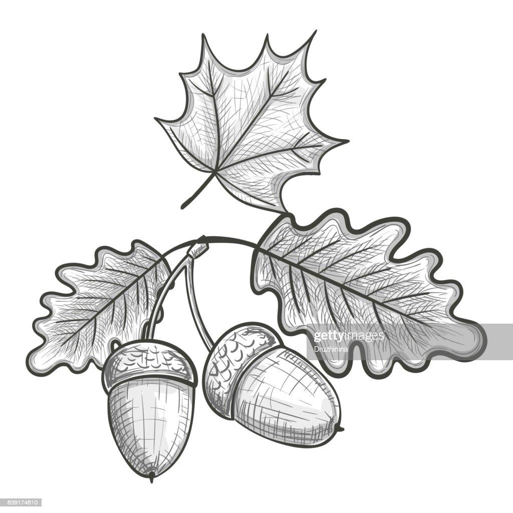 Sketch of an oak leaf and acorn