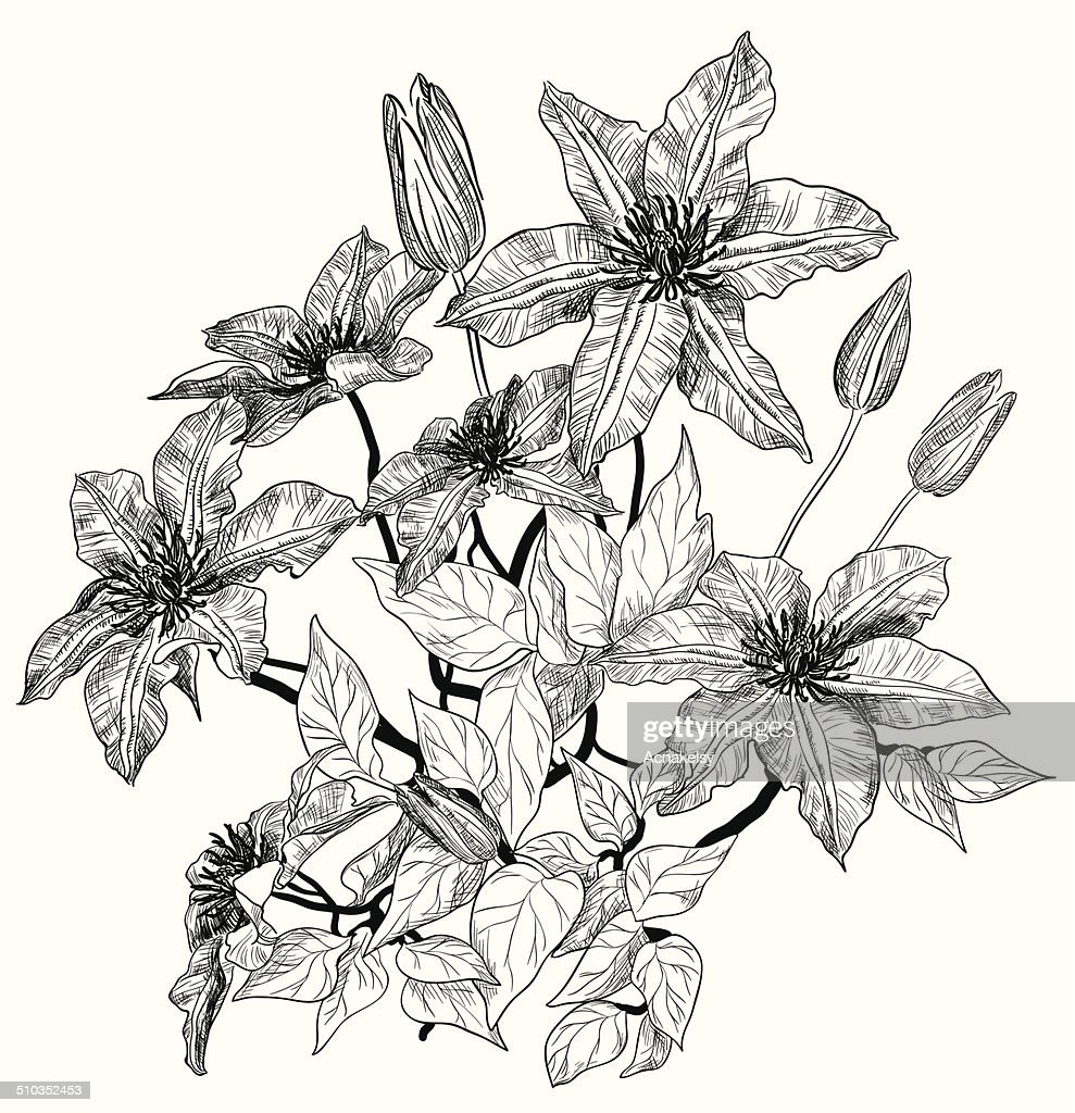 Sketch of clematis flowers