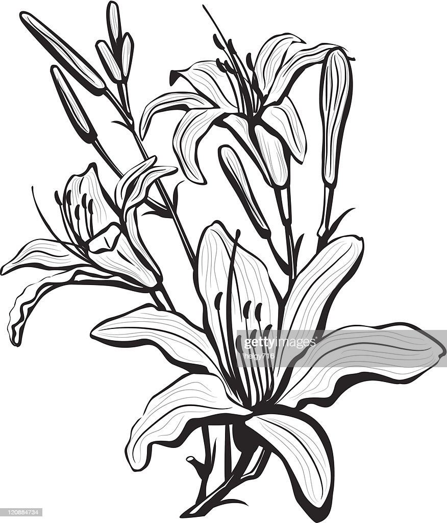 Sketch Of Lily Flowers Vector Art Getty Images