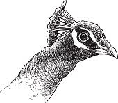 sketch of the head of a peacock