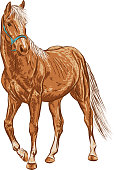 A sketch of the young horse.