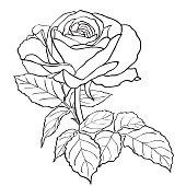 Sketch rose branch