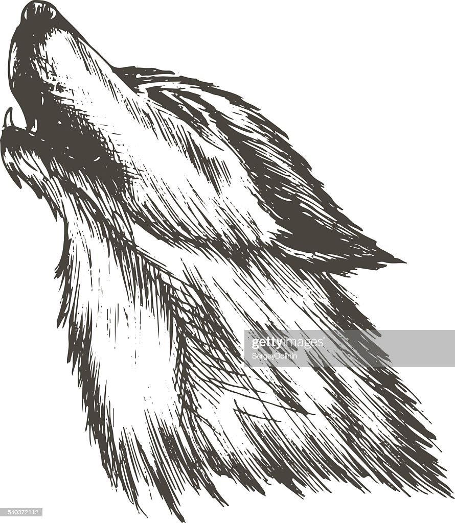 sketch vector illustration of wolf