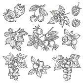 Sketches of garden and wild berries