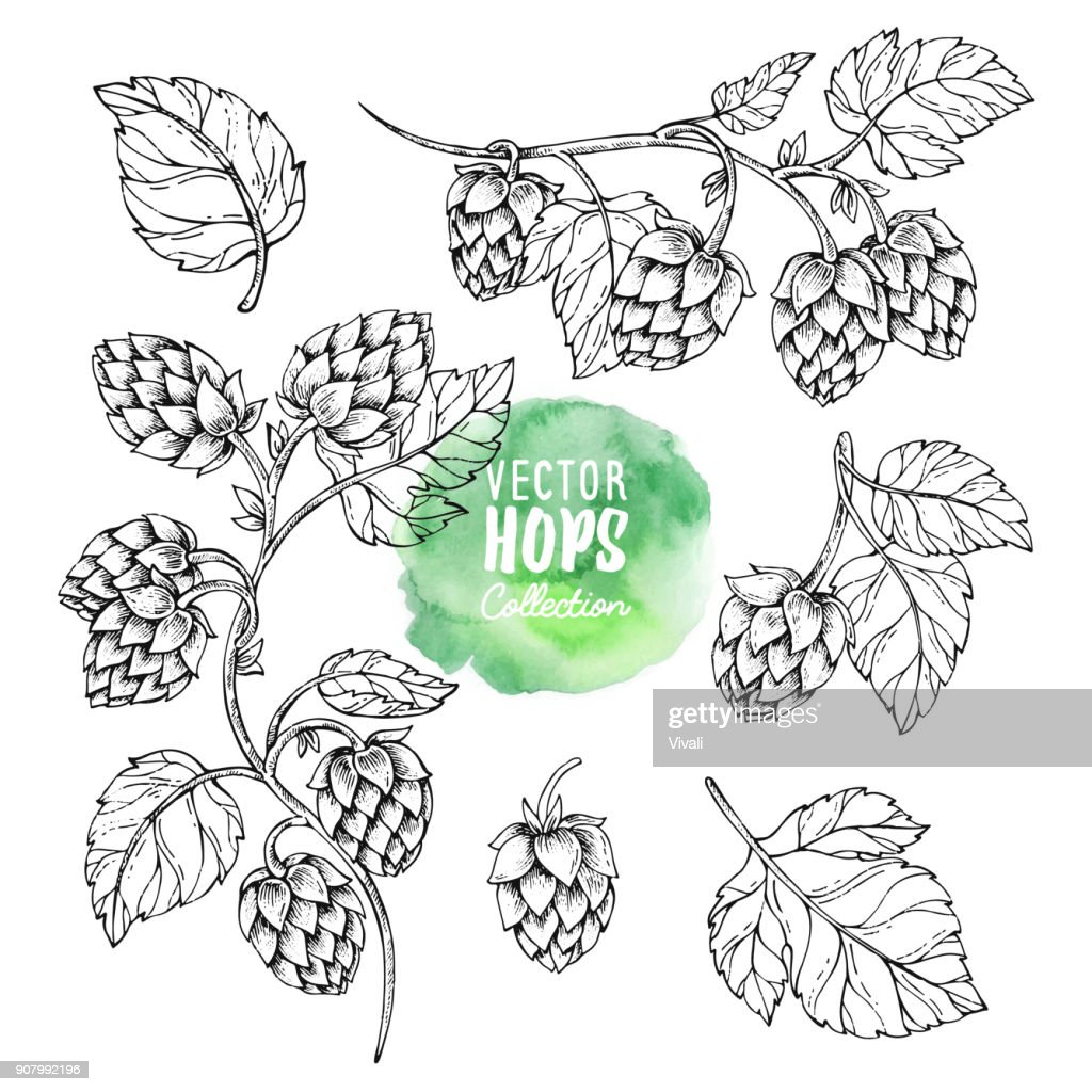 Sketches of hop plant. Hops vector set. Humulus lupulus illustration for packing, pattern, beer illustration.