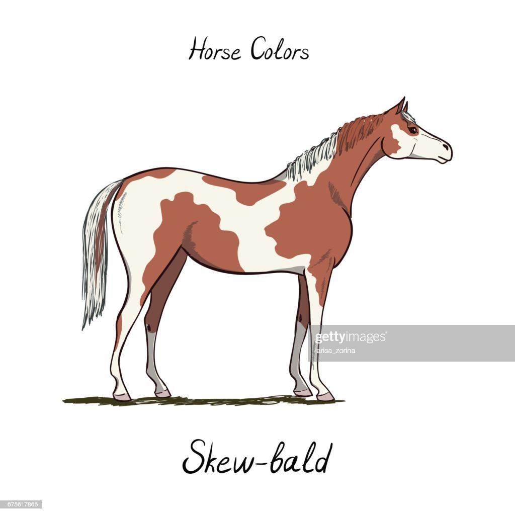 Skew bald horse color chart on white.  Equine coat colors with text. Equestrian scheme. Type of horse.