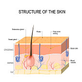 Skin layers with glands (sebaceous and sweat glands).