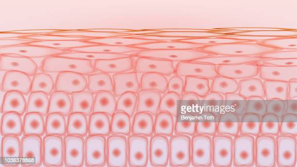 skin tissue cells - tissue anatomy stock illustrations, clip art, cartoons, & icons
