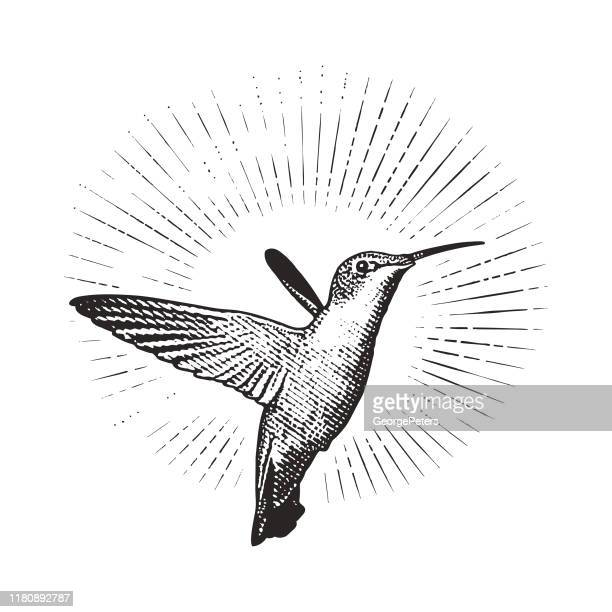 smiling ruby throated hummingbird - scratchboard stock illustrations
