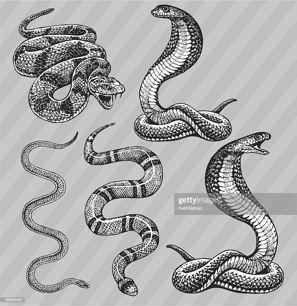 Snakes - Cobra, Kingsnake, Rattlesnake and Garter