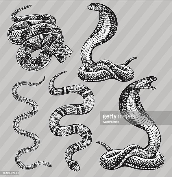 Illustrations et dessins anim s de serpent getty images - Dessin de serpent cobra ...