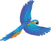 South American rainforest blue and gold macaw flying parrot