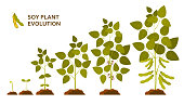Soy plant evolution with leaves, flowers and pods