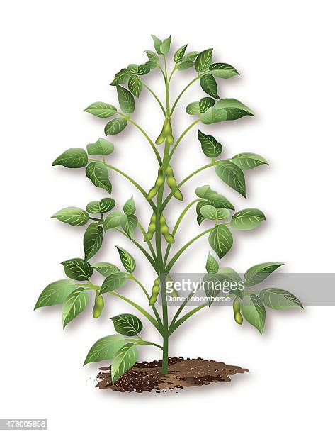 soybean plant growing in soil - bean stock illustrations, clip art, cartoons, & icons