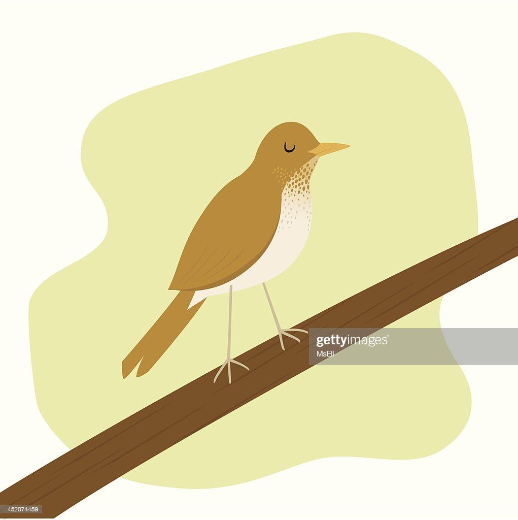 Spotted thrush bird Veery