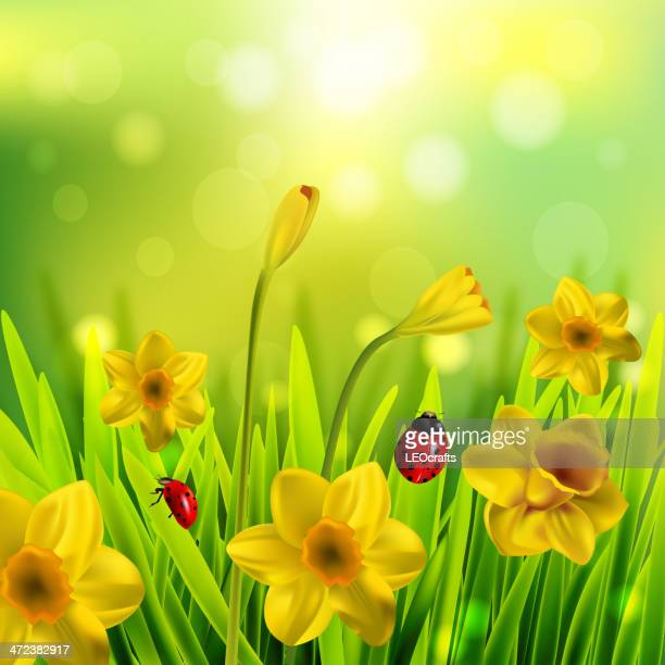 spring background - daffodil stock illustrations, clip art, cartoons, & icons