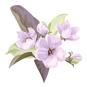Spring blossom (bloom), branch with mauve apple tree flowers. Bouquet light floret, buds, green leaves on white background. Digital draw illustration in watercolor style, concept for design, vector