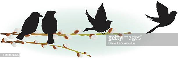 Spring Pussy Willow branch with perching and flying sparrows
