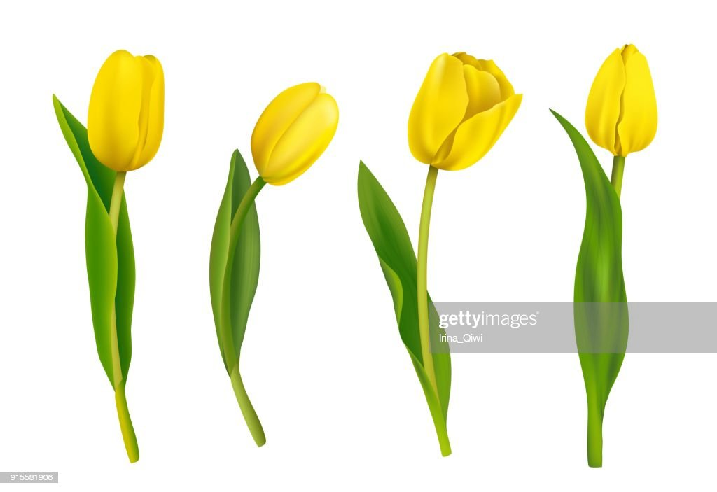 Spring yellow tulips isolated on white background.