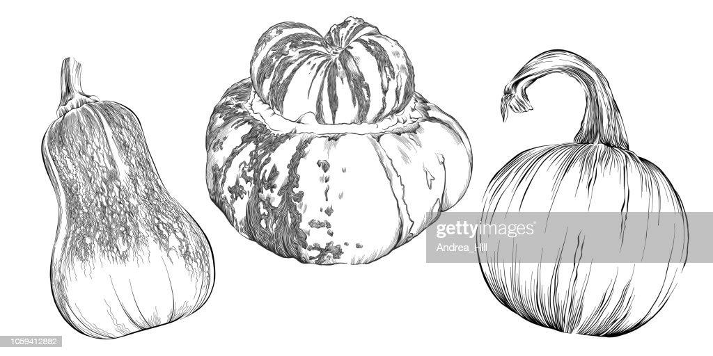 Squash Sketch Vector Illustration Set - Pumpkin, Honeynut Squash, and Turk's Turban Squash