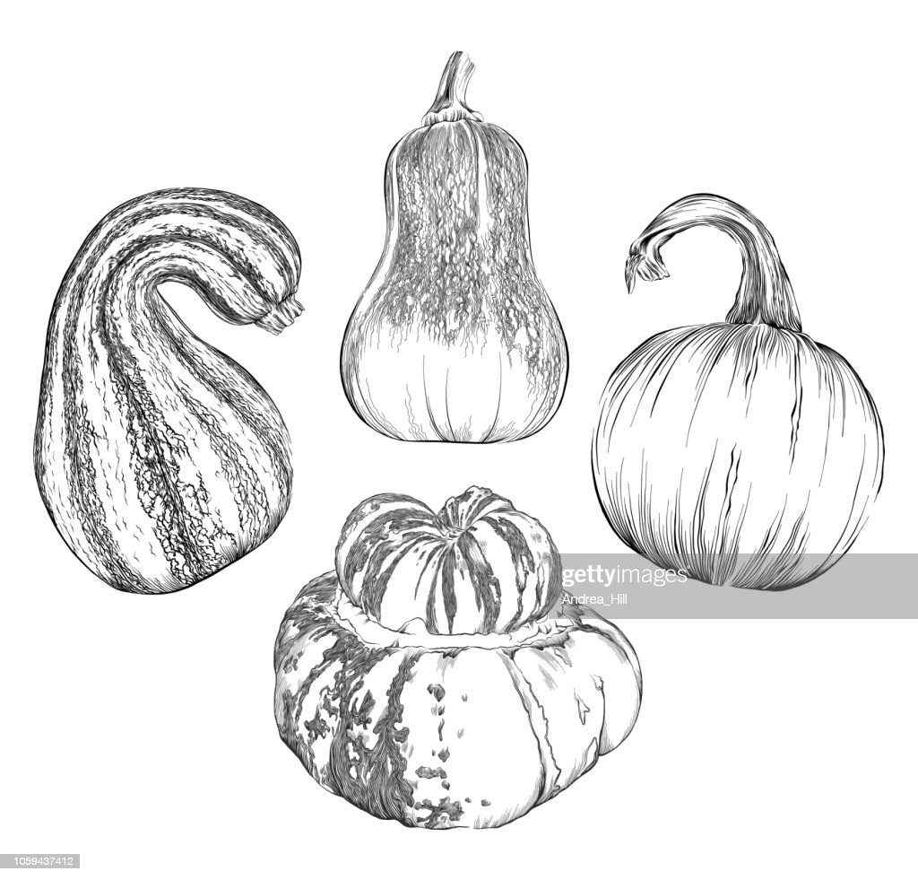 Squash Sketch Vector Illustration Set - Pumpkin, Honeynut Squash, Cushaw Squash and Turk's Turban Squash
