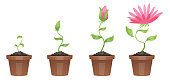 Stages of growth, beautiful pink flower (chrysanthemum)