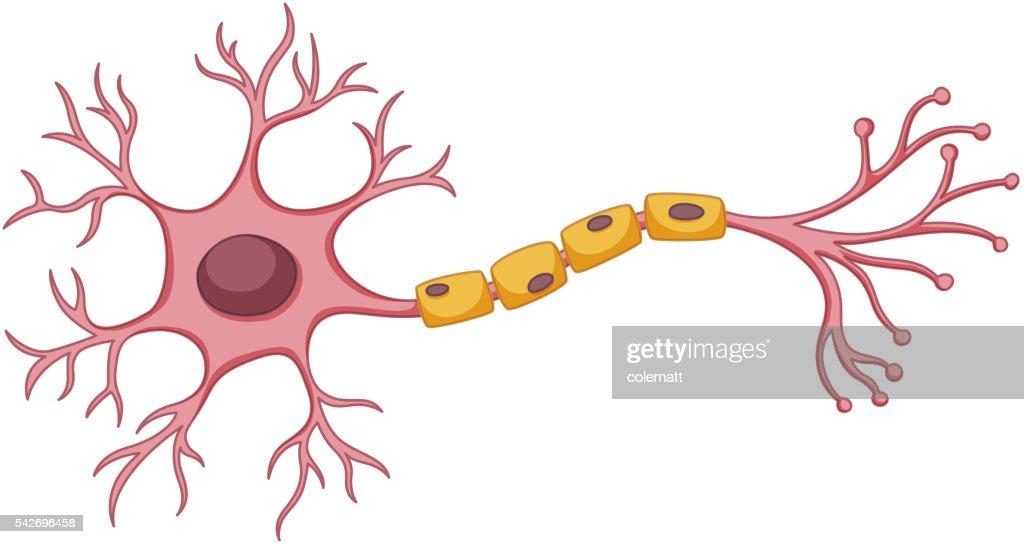 Stem cell diagram on white background