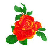 Stem flower orange rose and leaves vintage on a white background  vector illustration editable