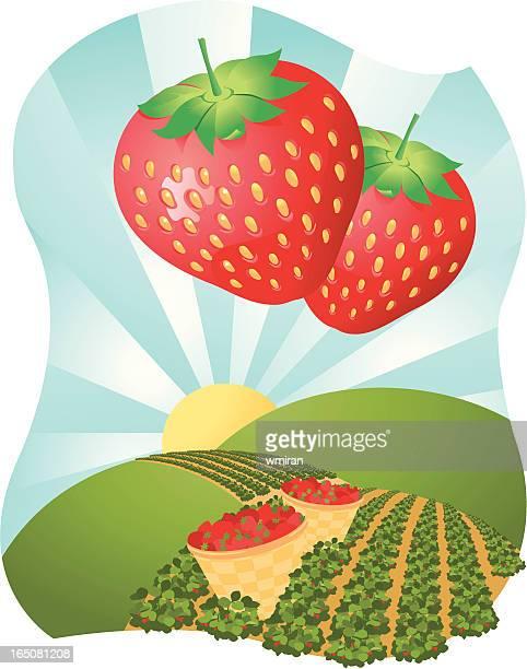 strawberry fields - feld stock-grafiken, -clipart, -cartoons und -symbole