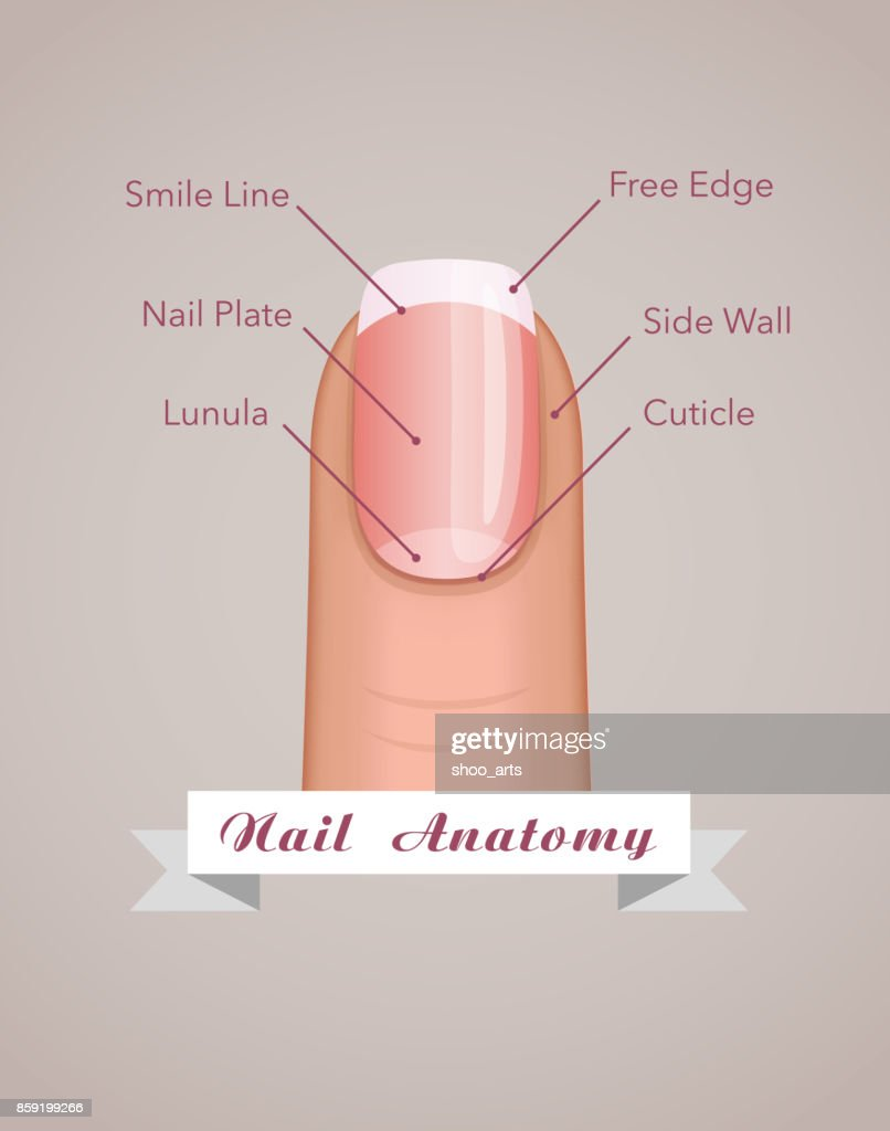 Structure and anatomy of human nail vector