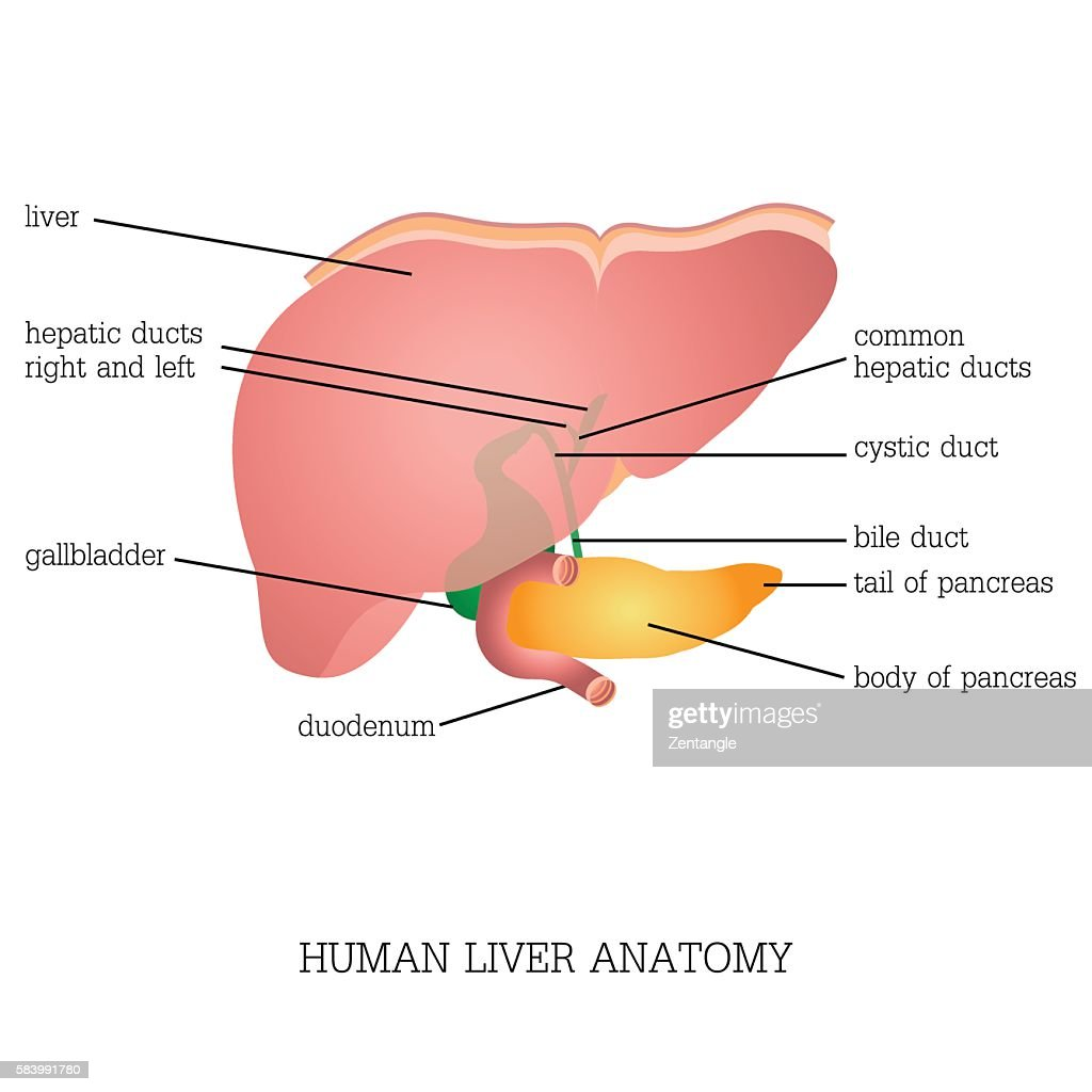 Structure and function of Human Liver Anatomy .