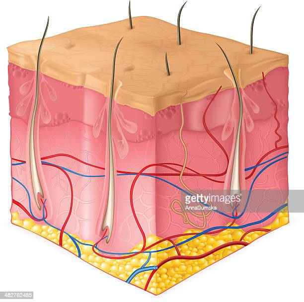structure of the skin - sweat gland stock illustrations, clip art, cartoons, & icons