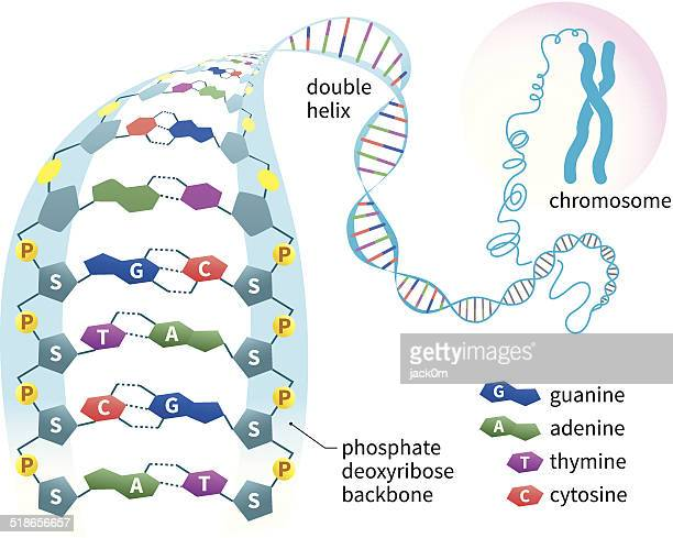 dna structure - chromosome stock illustrations