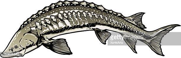 sturgeon - sturgeon fish stock illustrations