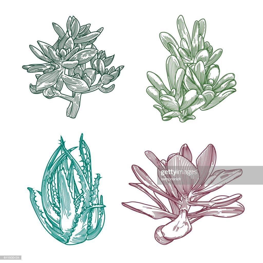 Succulent Line Art Set Vector Art | Getty Images