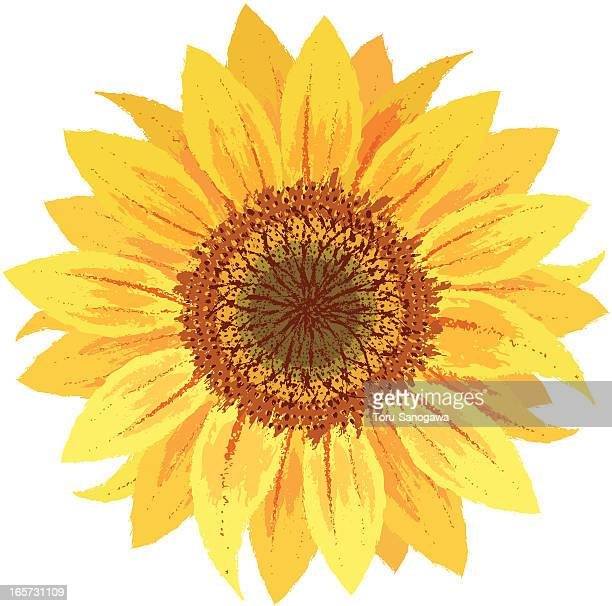 sunflower by hand-drawn - sunflower stock illustrations, clip art, cartoons, & icons