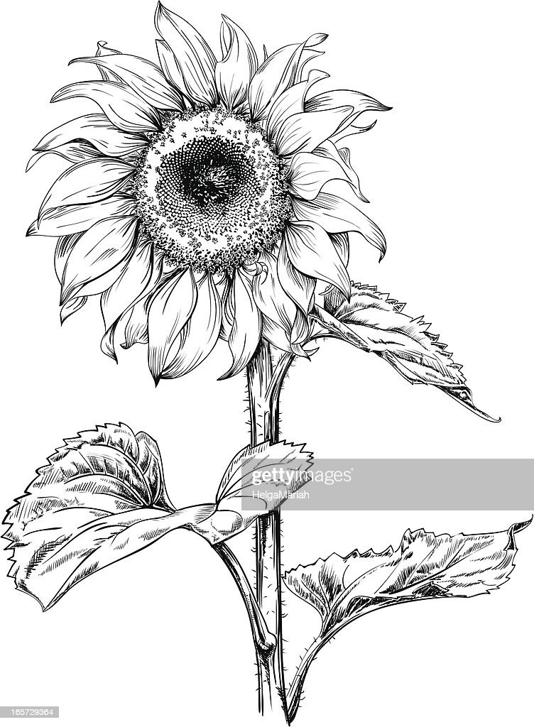 sunflower drawing vector art getty images