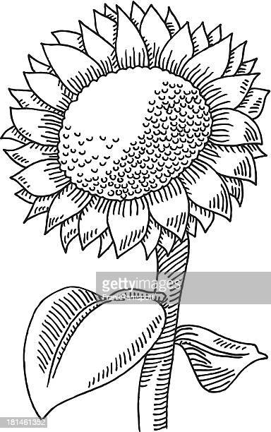 sunflower drawing - sunflower stock illustrations, clip art, cartoons, & icons