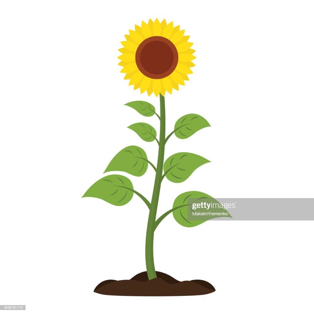 Sunflower Vector icon.
