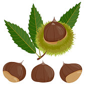 Sweet chestnut plant and fruit