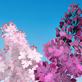 Sweet Lilac on the blue-sky background.  Two branches with summer lilac flowers.