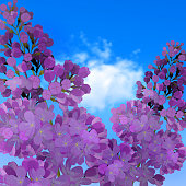 Sweet Lilac on the blue-sky background.